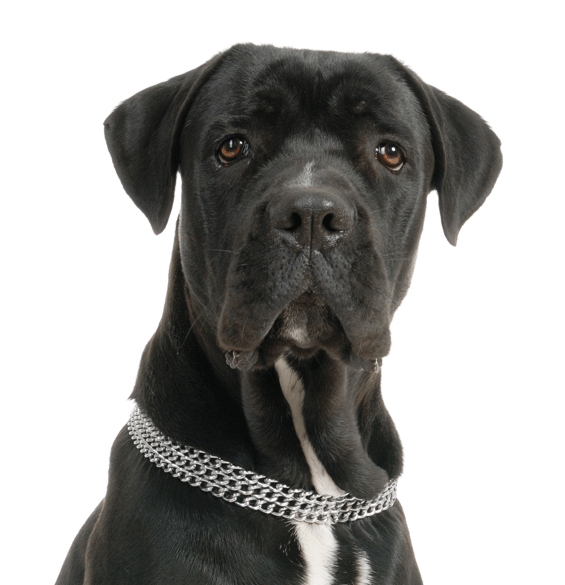 Cane Corso Puppies Dogs