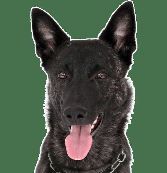 German Shepherd Dog Puppies for Sale - Adoptapet com