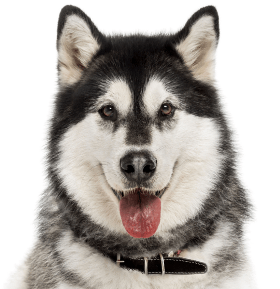 Alaskan Malamute Puppies for Sale - Adoptapet com