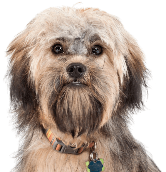 Havanese Puppies for Sale - Adoptapet com