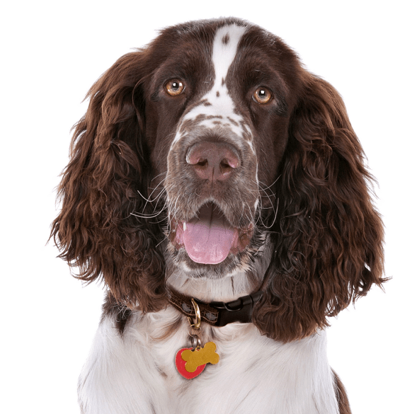 English Springer Spaniel Puppies For Sale Adoptapetcom