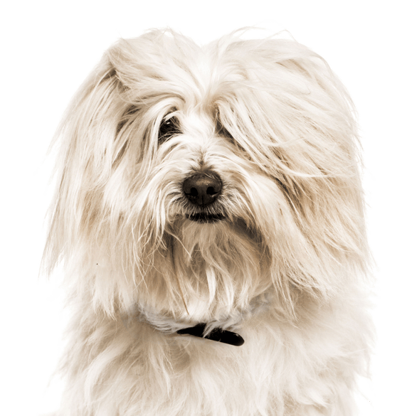 Coton de Tulear Puppies for Sale - Adoptapet com