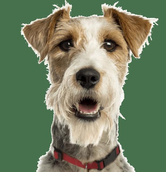 Rat Terrier Puppies for Sale - Adoptapet com