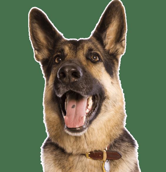 Belgian Malinois Puppies For Sale Adoptapet Com