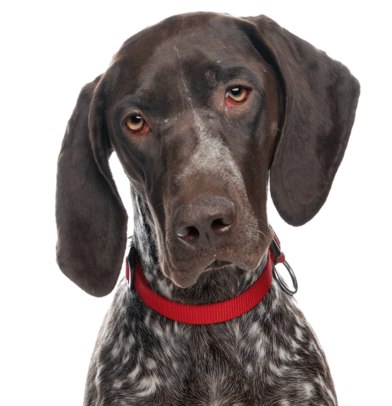German Shorthaired Pointer Puppies For Sale Adoptapet Com