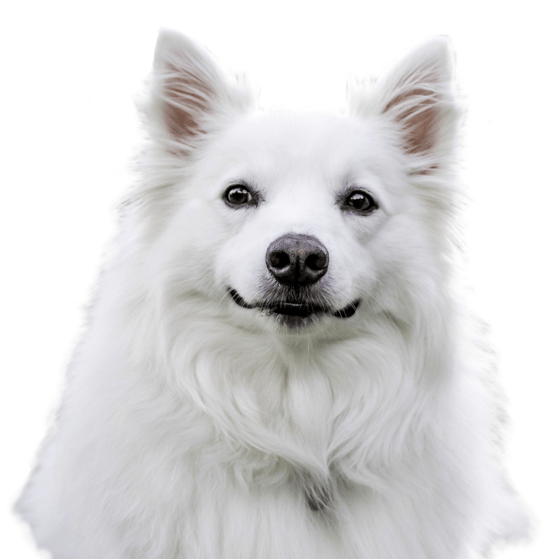 American Eskimo Dog Puppies for Sale - Adoptapet com