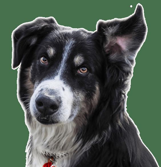 Nova Scotia Duck Tolling Retriever Puppies For Sale Adoptapet Com