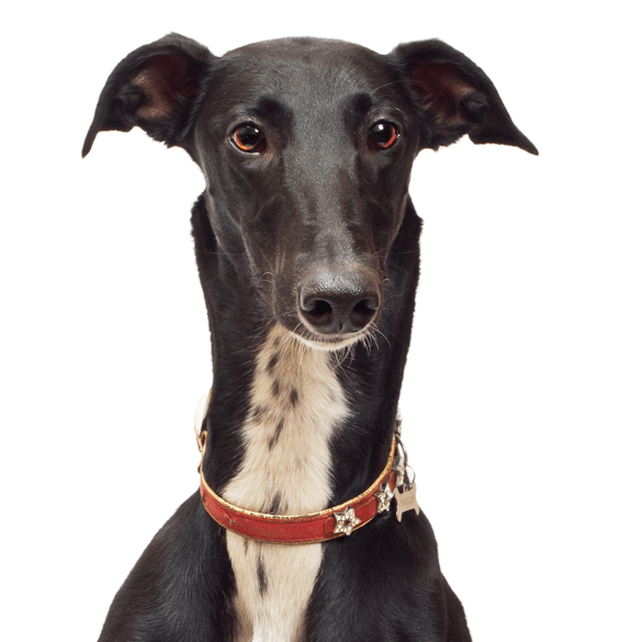 Greyhound Puppies for Sale - Adoptapet com