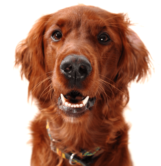 Irish Setter Puppies For Sale Adoptapetcom