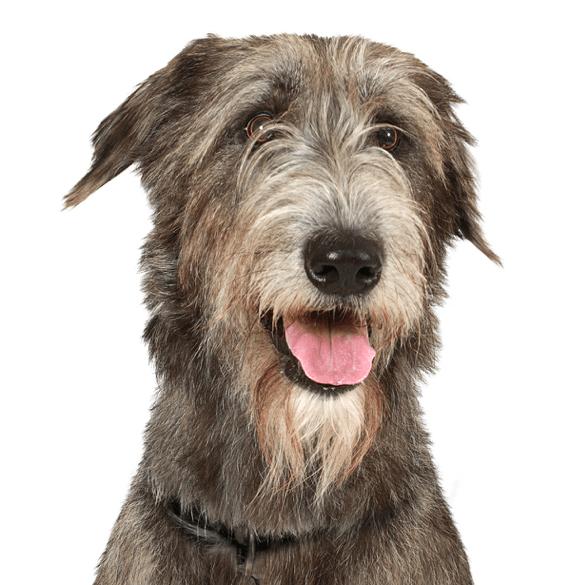 Irish Wolfhound Puppies For