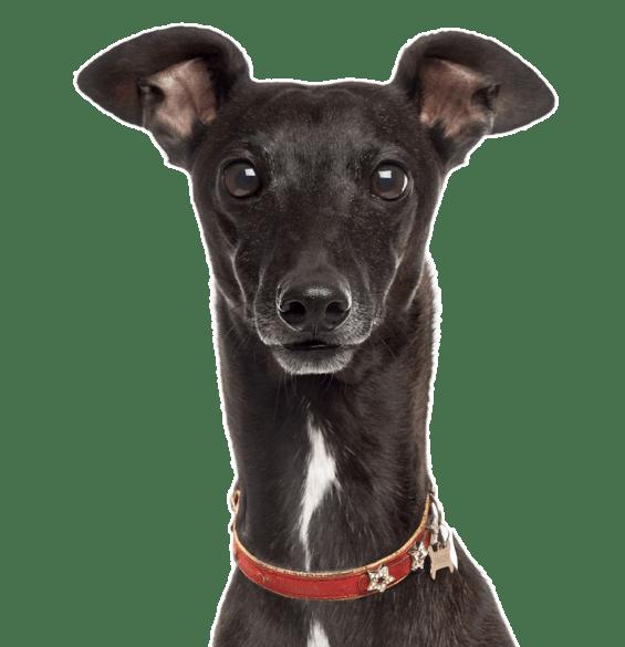 Italian Greyhound Puppies Dogs