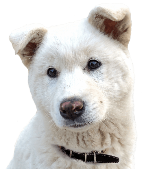Chow Chow Puppies for Sale - Adoptapet com