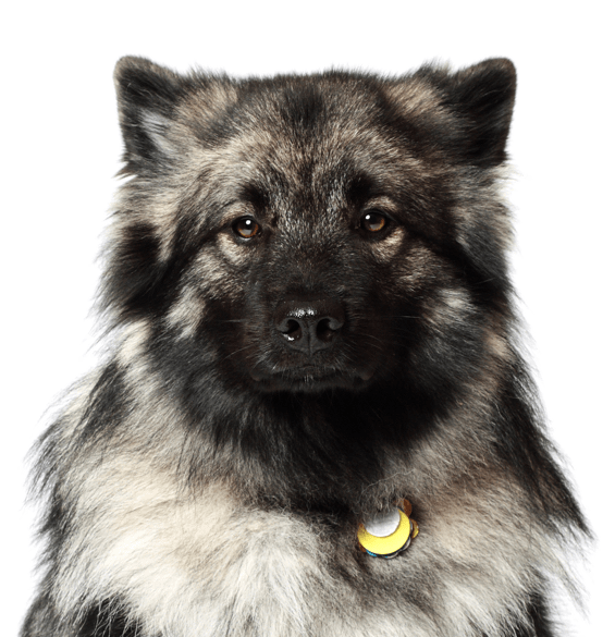 Keeshond Puppies For Adoptapet