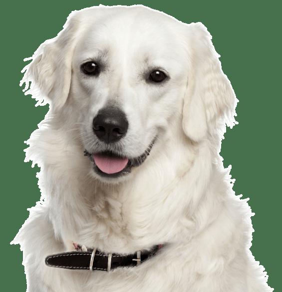 Kuvasz Puppies Dogs