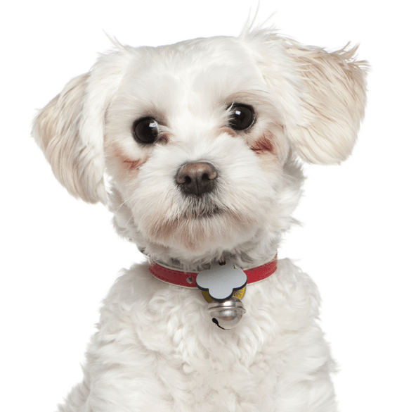 Maltese Puppies For Adoptapet