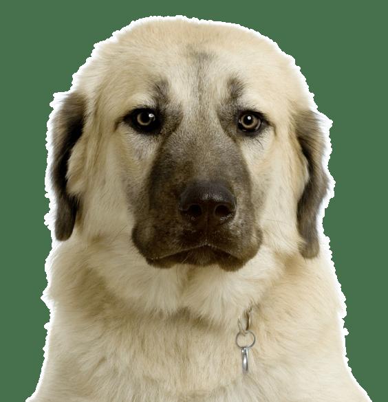 Newfoundland Puppies for Sale - Adoptapet com