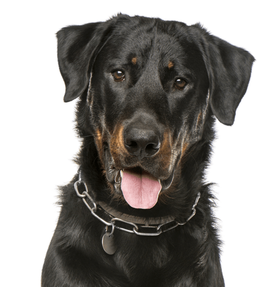 Beauceron Puppies Dogs