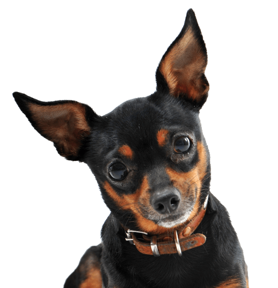 Miniature Pinscher Puppies for Sale - Adoptapet com