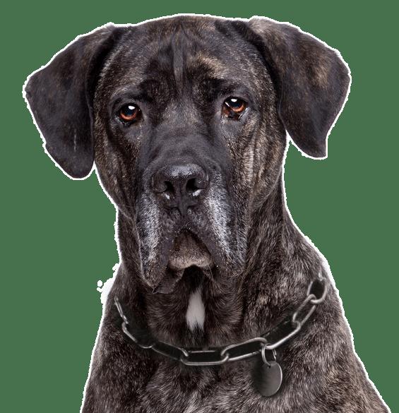 Cane Corso Puppies For Sale Adoptapet Com