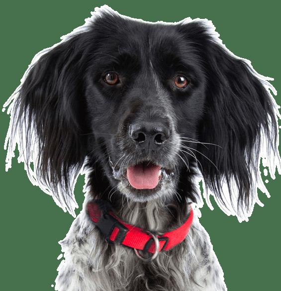 Munsterlander Puppies For