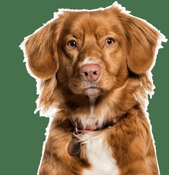 Nova Scotia Duck-Tolling Retriever Puppies for Sale - Adoptapet com