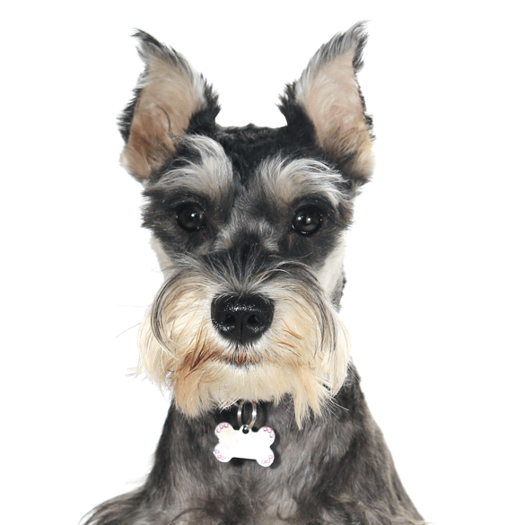 Schnauzer Miniature Puppies Dogs