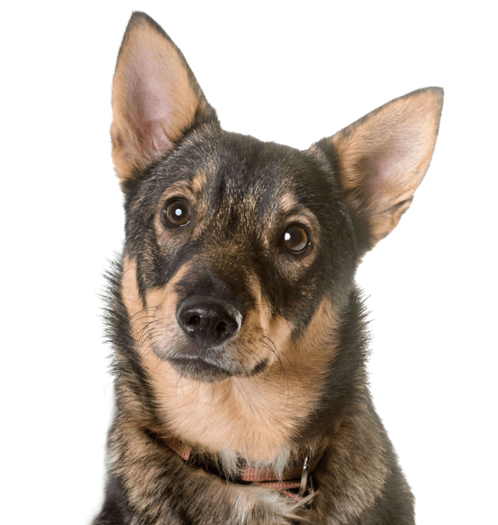 Swedish Vallhund Puppies Dogs