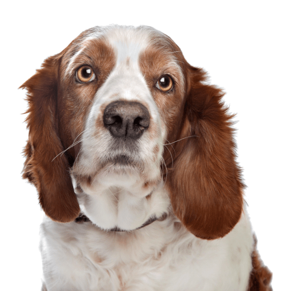 Welsh Springer Spaniel Puppies for Sale - Adoptapet com