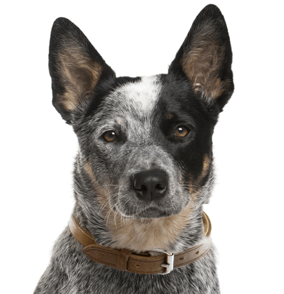 Australian Cattle Dog Puppies for Sale - Adoptapet com