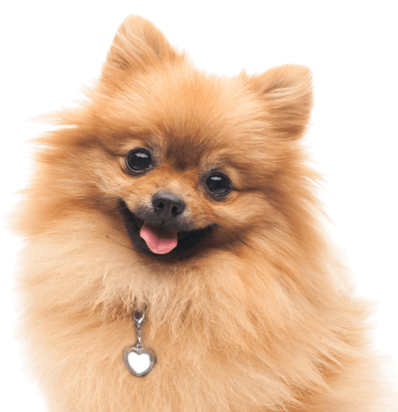 Pomeranian Puppies Dogs