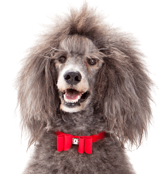 Poodle (Standard) Puppies for Sale - Adoptapet com
