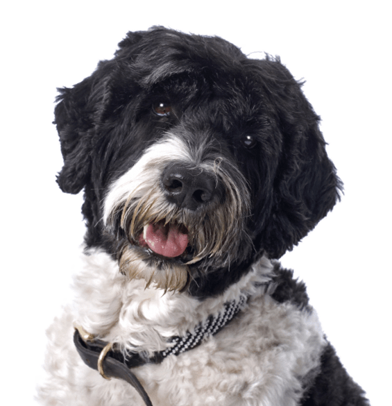Portuguese Water Dog Puppies For Sale Adoptapetcom