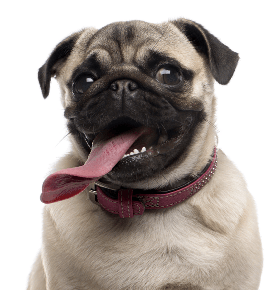 Pug Puppies for Sale - Adoptapet com