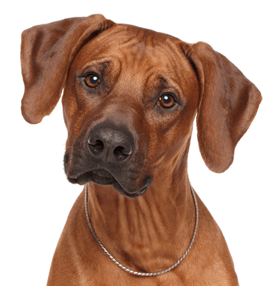 Rhodesian Ridgeback Puppies Dogs