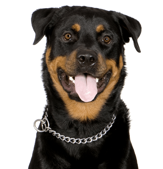 Rottweiler Puppies For Sale Adoptapetcom
