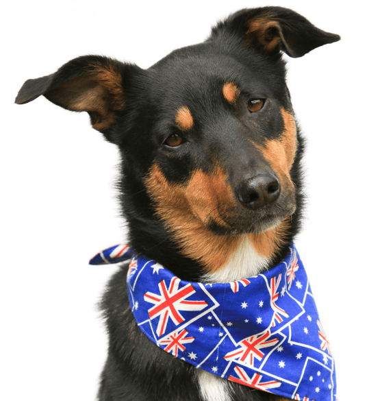 Awe Inspiring Australian Kelpie Puppies For Sale Adoptapet Com Pdpeps Interior Chair Design Pdpepsorg