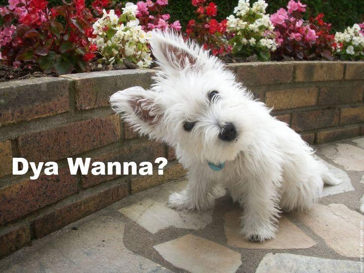 Westie, West Highland White Terrier Puppies for Sale - Adoptapet com