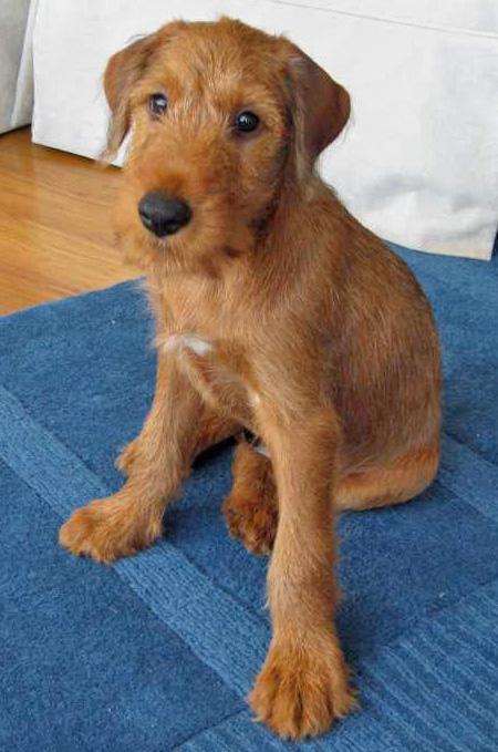 Irish Terrier Puppies Dogs