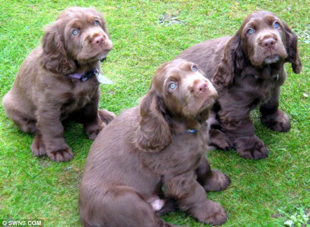 Sussex Spaniel Puppies Dogs