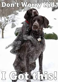 German Shorthaired Pointer Puppies Dogs