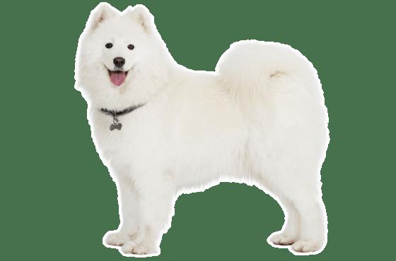 Samoyed Puppies for Sale in Phoenix Arizona - Adoptapet com