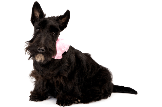 Scottie Scottish Terrier Puppies For Sale In New York New York Adoptapet Com