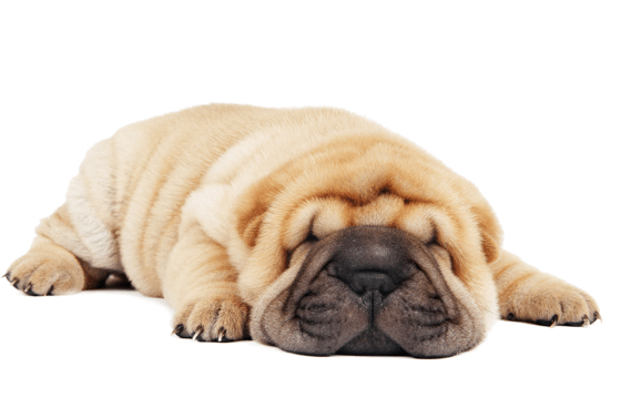 Shar Pei Puppies For In Arizona Adoptapet