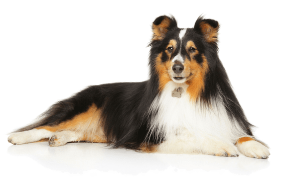 Sheltie, Shetland Sheepdog Puppies for Sale in Chicago Illinois