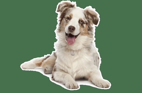Australian Shepherd Puppies For In