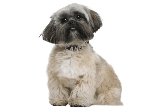 Shih Tzu Puppies In Ohio