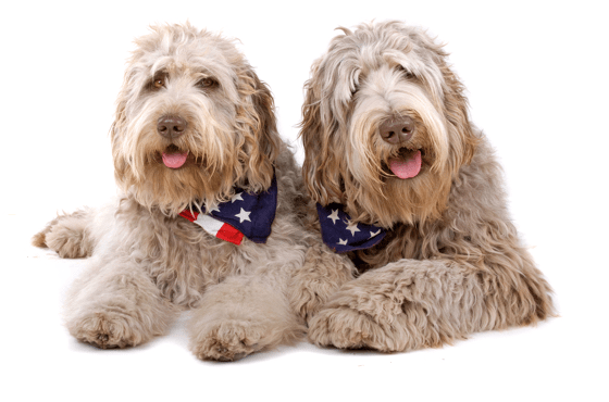 Labradoodle Puppies For In