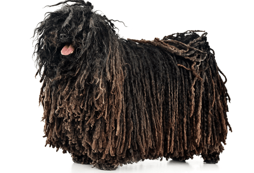 Puli Puppies In New Jersey