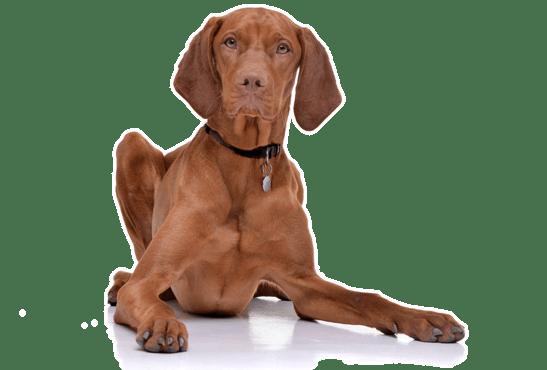 Vizsla Puppies For Sale In Denver Colorado Adoptapetcom