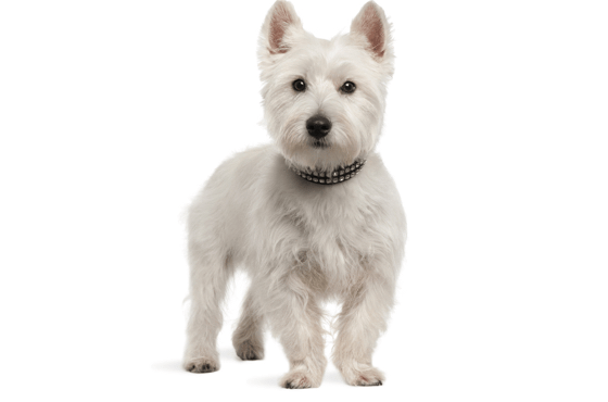 Westie, West Highland White Terrier Puppies for Sale in Atlanta